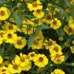 Helenium autumnale l. (sneezeweed)