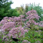 kidney-root, sweetscented joe-pie weed, sweet Joe-Pye weed, gravel root, or trumpet weed, herbaceous perennial