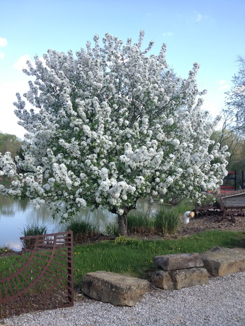 organic fertilizer, compost tea, flowering crab apple, malus, dhs landscape