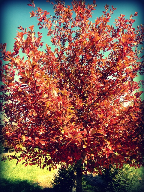 awesome fall color on a native black gum