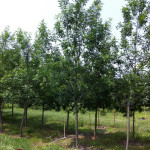 tree farm, ash, young shade tree