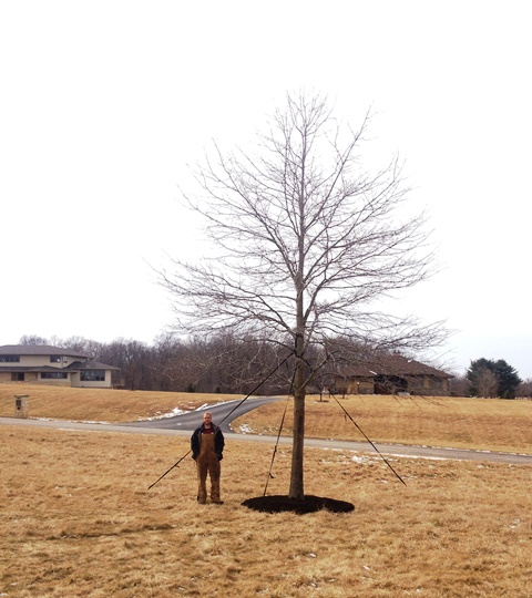 "This is a 12""caliper willow oak we transplanted from our nursery to a customer in Prairie Green Bloomington, IN"
