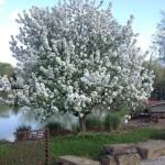 organic fertilizer, compost tea, flowering crab apple, malus, dhs landscape