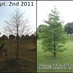 tree care, tree service, tree rejuvenation, taxodium
